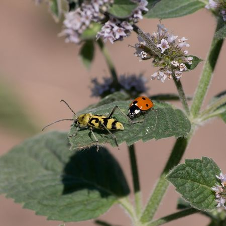 Ladybird and another beetle on a leaf of mint.