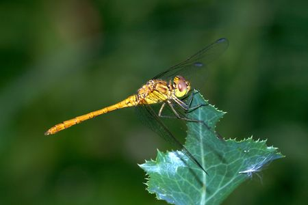 Yellow dragonfly sits on the thorn leaf. Stock Photo
