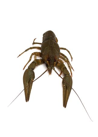 One crayfish on a white background. Soon it boil and served for beer.