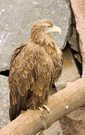 Brown eagle sitting on a log. Against the rock.