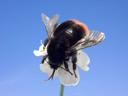 One big black Bumblebee into small white flower against the sky. Macro.