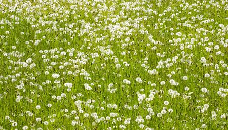 A field of white dandelion. Sunny day in May. Stock Photo - 7162379