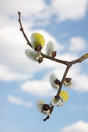 Spring flowering willows. Silver  and yellow earrings against the blue sky and white clouds. Stock Photo