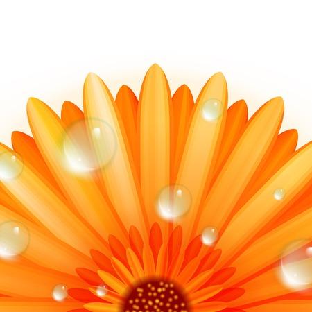 abloom: Gerber p�talos con gotas de agua, adem�s de EPS10 Vectores