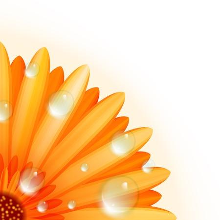abloom: Gerber petals with water drops  plus EPS10