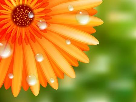 camomiles macro: Gerber petals with water drops  plus EPS10