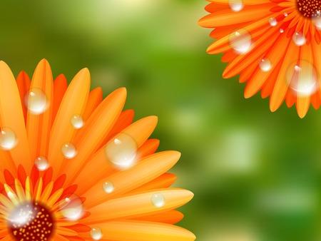 camomiles macro: Gerber petals with water drops  plus
