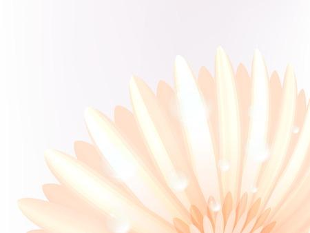 calendula flower: Water drops on elegant gerbera petals  plus