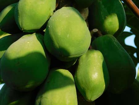 fresh green unripe papayas hanging on its tree, closeup view Reklamní fotografie