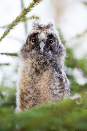 Portrait of long-eared owl chick photo