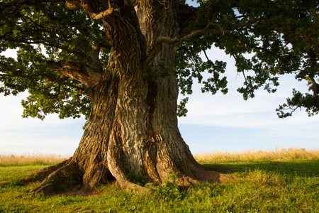 large trees: Grand oak in Urvaste, Estonia
