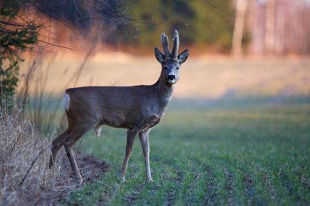 roebuck: Male roe deer Stock Photo