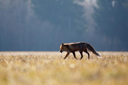 prey: Red fox with prey (mole)