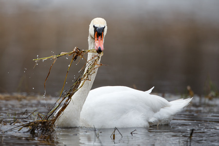 whooping: Mute swan in action