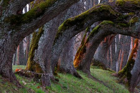 tilia: Old stems of tilia trees in park Stock Photo