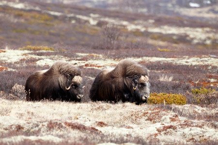 musk: Musk oxes on Dovrjefell mountains in Norway