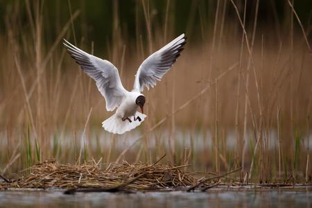 black headed: Black headed gull landing onto nest