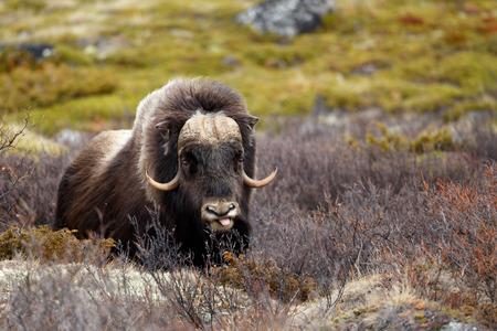 buey: Buey almizclero en Dovrjefell, Noruega