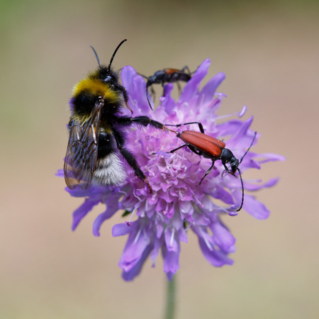 bombus: Bumblebee and other insects on clover