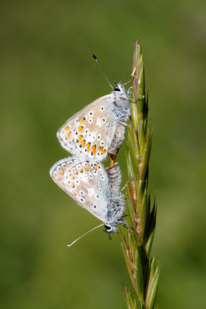 lovemaking: Common blue butterflies pairing Stock Photo