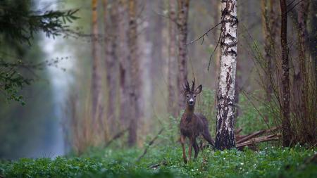 Mannelijke reeën in het bos Stockfoto