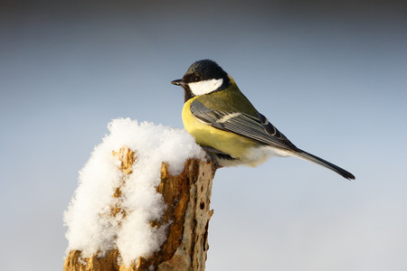 parus major: Great tit (Parus major) Stock Photo