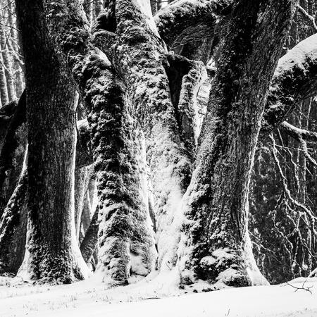 tilia: Stems of old Tilia trees in winter