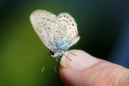 Common blue butterfly on nail of man