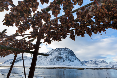 stockfish: Fish heads in Lofoten, Norway Stock Photo