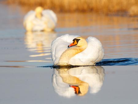 Mute swan in golden light