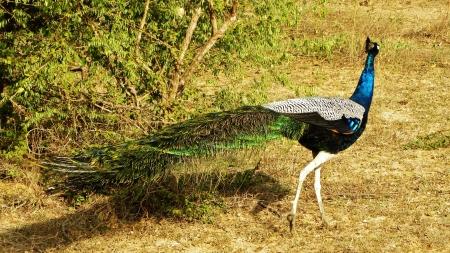 srilanka: peacock ,srilanka