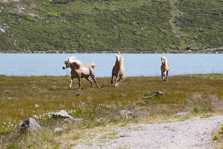 Haflinger Horses in the Pitztal in Austria photo