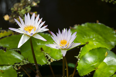 Water Lilies in the botanical garden of Mahe, Seychelles photo