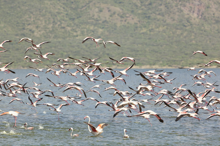 Flamingos flying at Lake Bogoria in Kenya. photo
