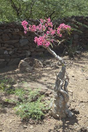 A Desert Rose plant at Lake Baringo in Kenya. Stock Photo