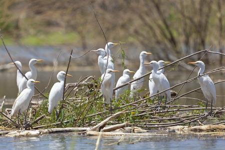 egrets: White Cattle Egrets at Lake Baringo, Kenya