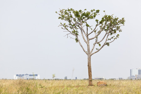 nairobi: A lonely tree in Nairobi National Park in Kenya with the skyline in the background. Stock Photo