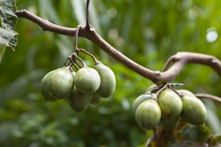 tamarillo: Unripe Tamarillos in a Kenyan garden.