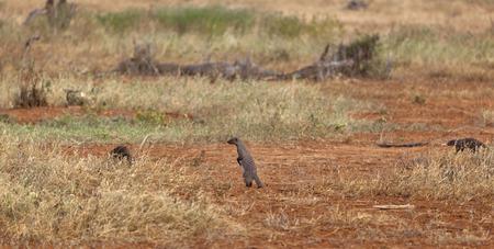 tsavo: Banded Mongooses in Tsavo East National Park in Kenya
