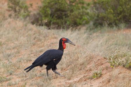 tsavo: A Southern Ground-Hornbill in Tsavo East National Park in Kenya