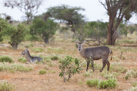tsavo: Waterbucks in Tsavo East National Park, Kenya