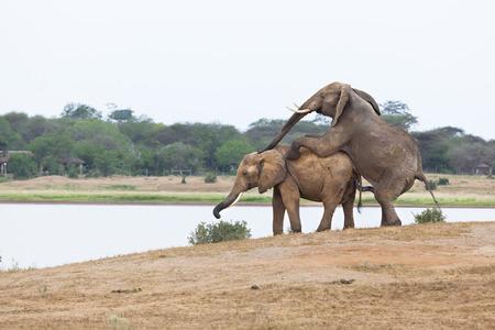 animal sex: African Elephants mating in Tsavo East National Park in Kenya.