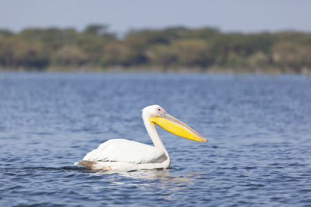 Great White Pelican at Lake Naivasha in Kenya. photo