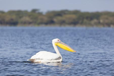 lake naivasha: Great White Pelican at Lake Naivasha in Kenya.