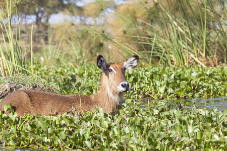 wading: A Waterbuck at Lake Naivasha in Kenya wading through the overgrown lake shore.