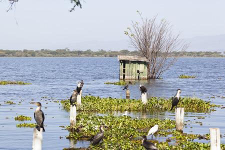 naivasha: Great Cormorants at the shore of Lake Naivasha, Kenya