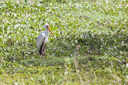 lake naivasha: Yellow-billed Stork at Lake Naivasha, Kenya