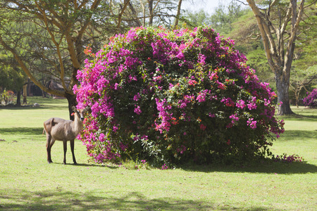 naivasha: Waterbuck standing by colorful Bougainvillea in a park at Lake Naivasha, Kenya