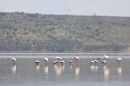 nakuru: Flamingos at Lake Nakuru in Kenya.