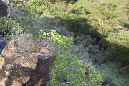 nakuru: Hyraxes in Lake Nakuru National Park, Kenya on a rock